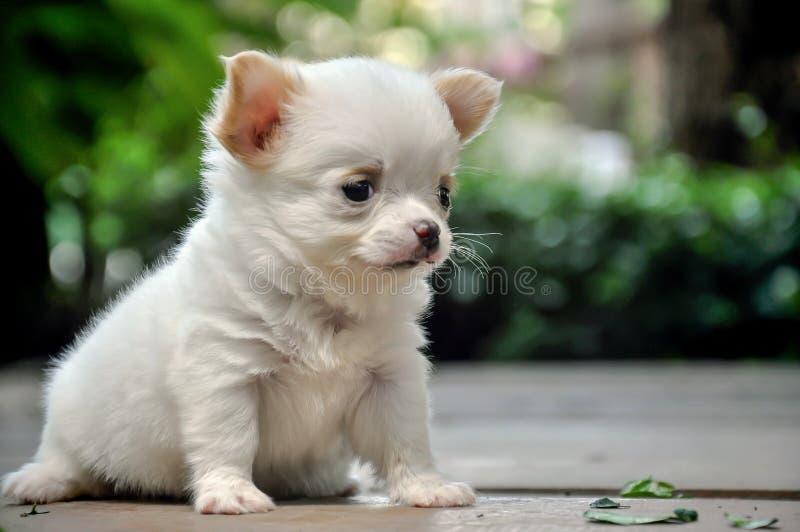 Милый щенок чихуахуа сидя на земле стоковые изображения rf
