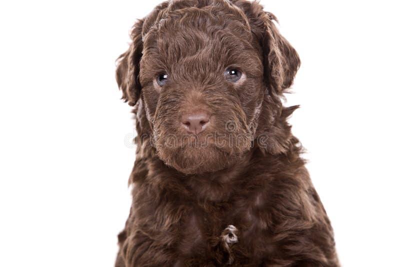 милый щенок labradoodle стоковое фото
