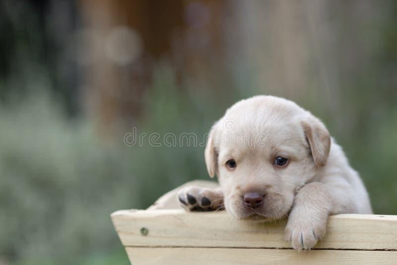 Милый щенок labrador стоковая фотография rf