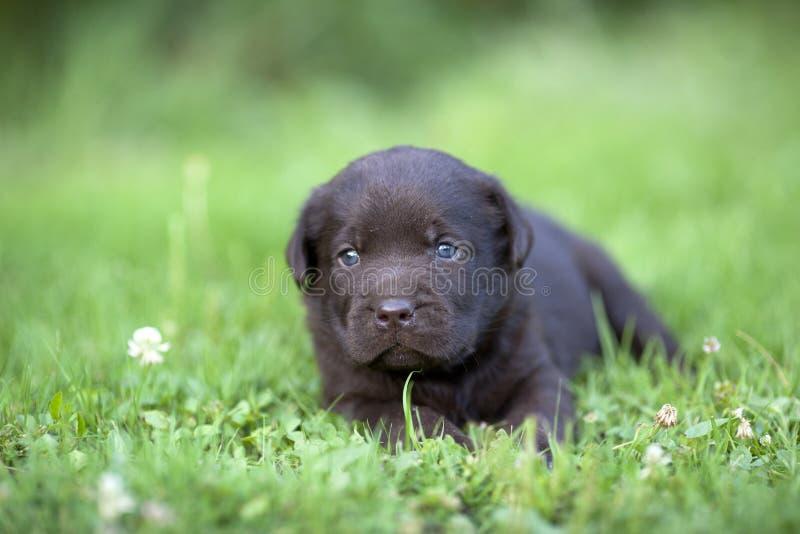 Милый щенок labrador стоковое изображение