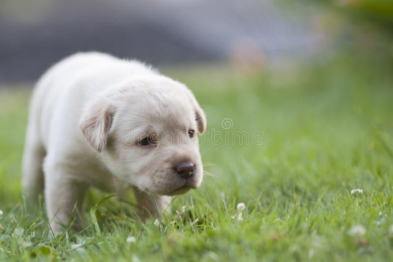 Милый щенок labrador стоковые фото