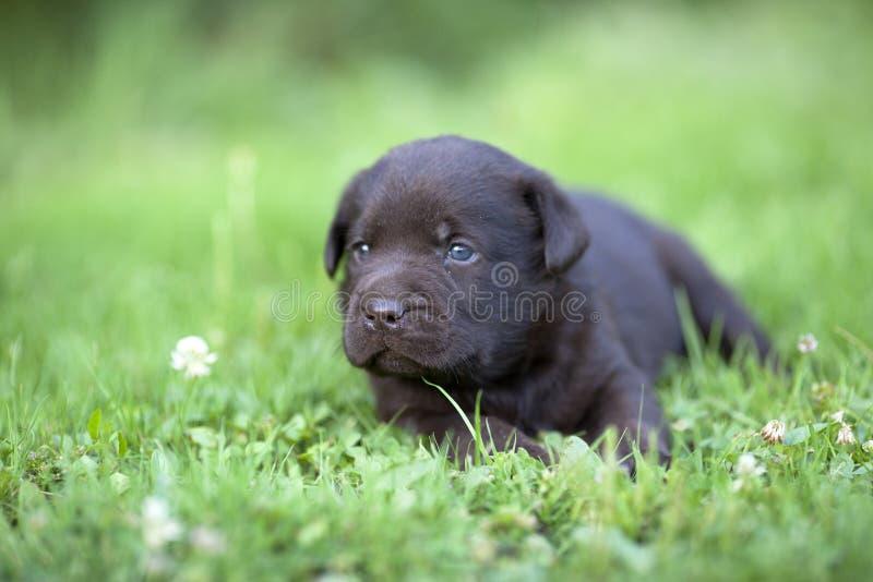 Милый щенок labrador стоковое фото rf