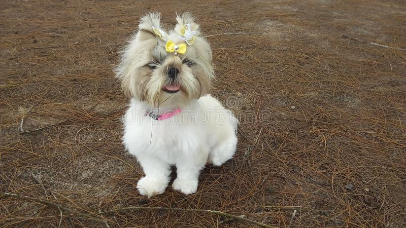 Милый щенок shih-tzu с смычком стоковые изображения
