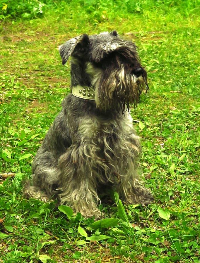 Милый щенок zwergschnauzer стоит на луге весны стоковое изображение rf
