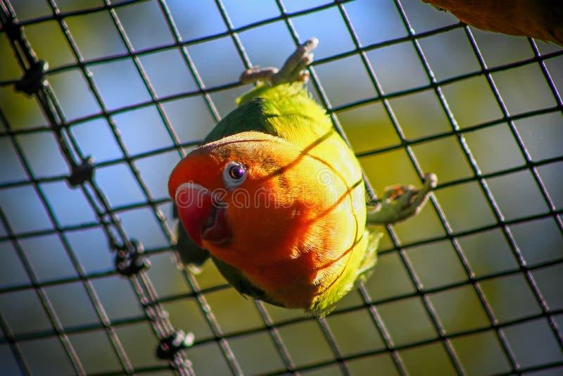 Милый Agapornis Fisher попугая держит birdcase стоковое фото