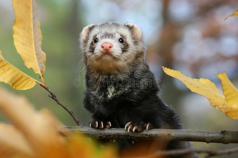 милый ferret стоковые изображения
