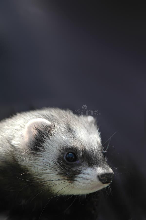 милый ferret стоковые изображения rf