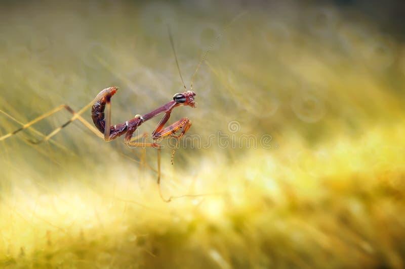 Милый Mantis младенца стоковое фото