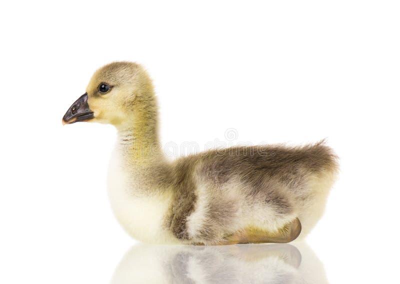 Милый newborn гусенок стоковые фото