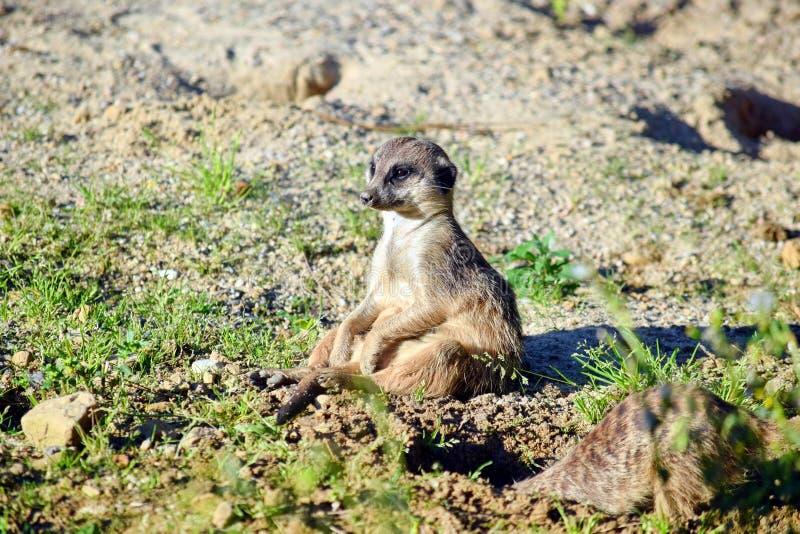 Милый Suricata сидя на траве и наблюдать стоковое изображение rf