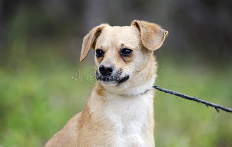 Милым собака щенка породы бигля смешанная терьером стоковое фото rf