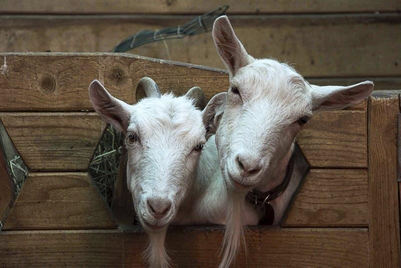 2 милых смешных козы стоковые фото