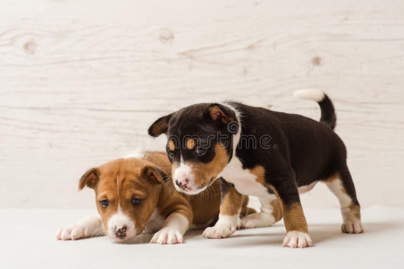 2 милых щенят basenji стоковая фотография rf