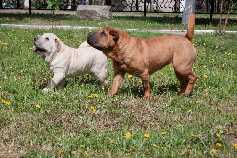 2 милых щенят shar-pei играют на зеленом луге стоковое изображение