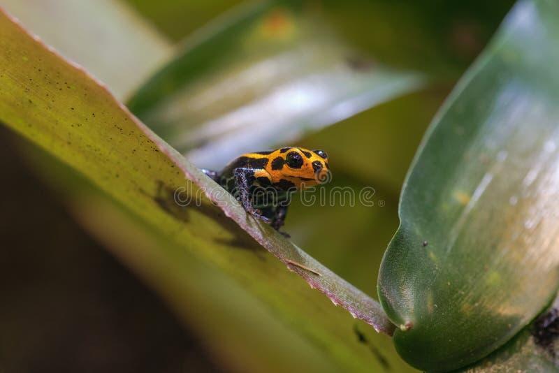 Мимическая лягушка стрелки лягушки отравы или отравы стоковые фотографии rf