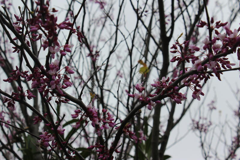 Миндалины весной стоковое фото rf