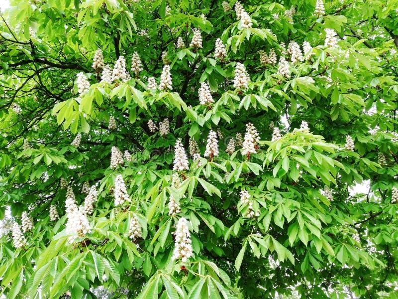 Миндальное дерево вполне красивых белых цветков стоковое фото