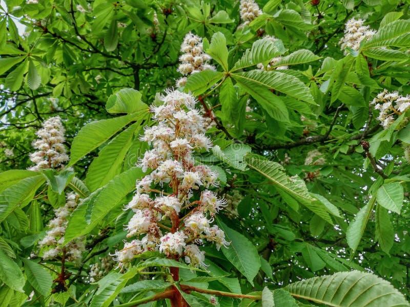 Миндальное дерево вполне красивых белых цветков стоковые изображения