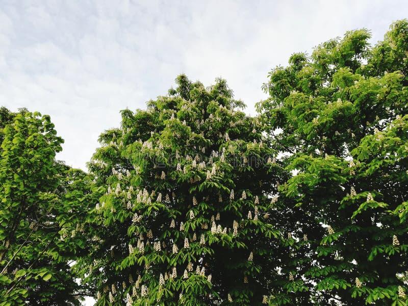 Миндальное дерево вполне красивых белых цветков стоковая фотография rf