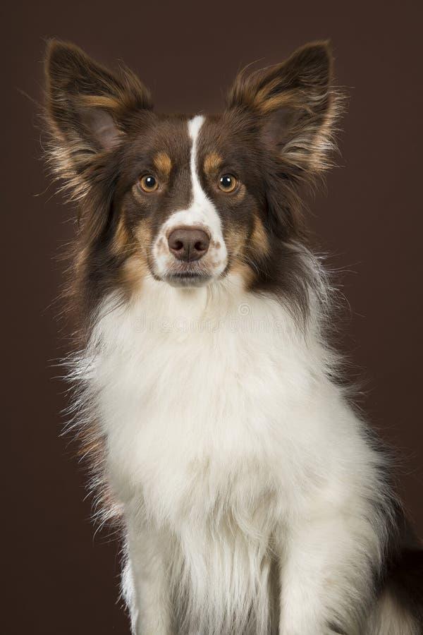 Миниатюрная американская собака чабана смотря камеру на коричневой предпосылке стоковая фотография rf