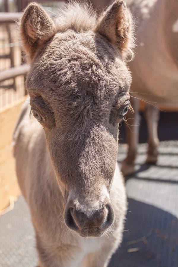 Миниатюрная голова осленка лошади дальше стоковое фото rf
