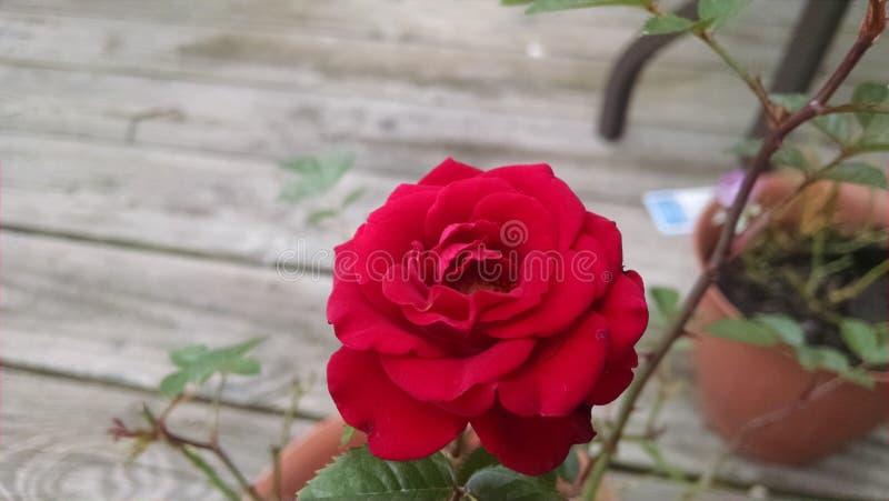 Миниатюрная красная роза Буш стоковая фотография
