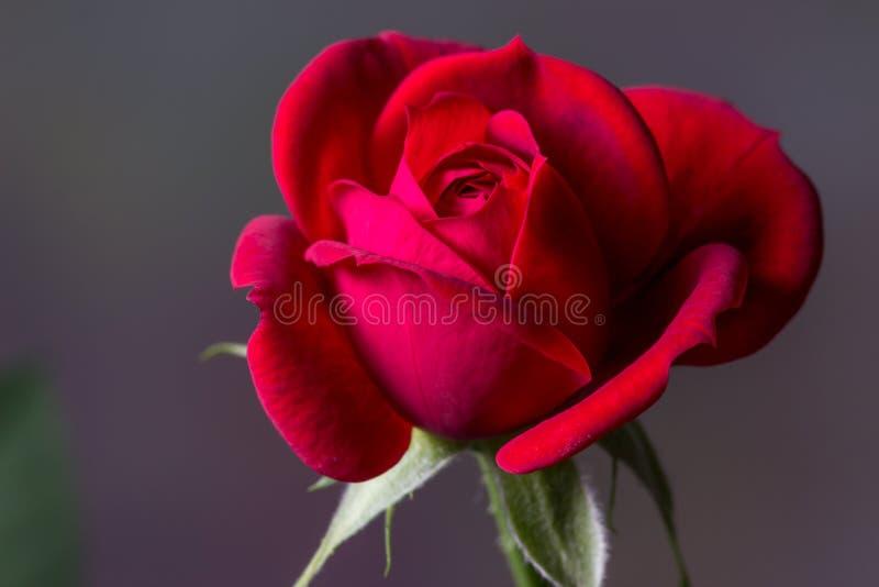 Миниатюрная красная роза стоковая фотография