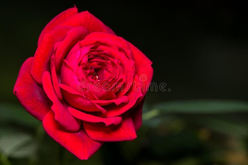 Миниатюрная красная роза стоковое фото rf