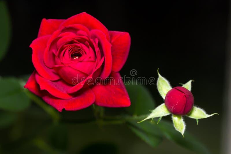 Миниатюрная красная роза стоковое изображение rf