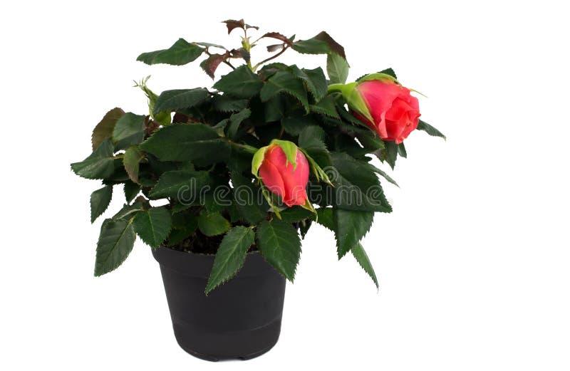 Миниатюрные красные розы в реальном маштабе времени в цветочном горшке стоковые изображения