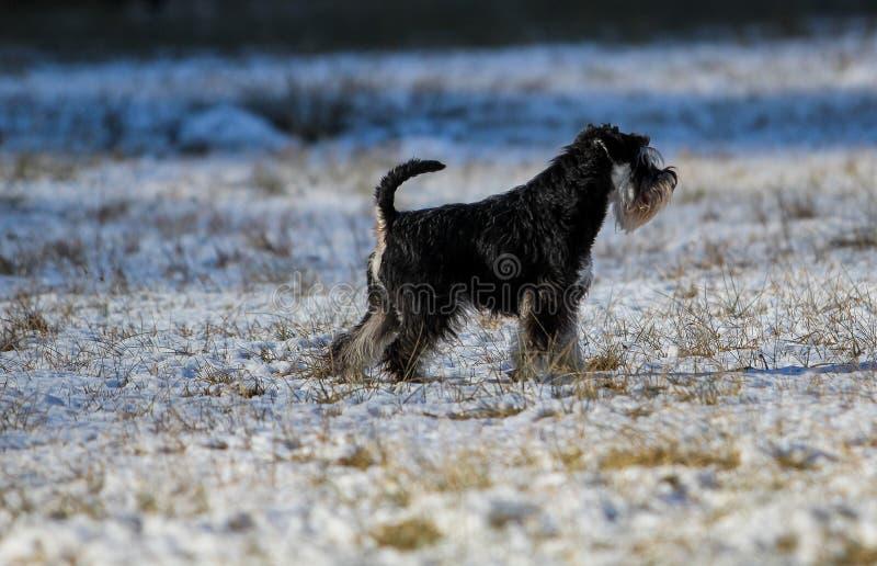 Миниатюрный шнауцер в снеге стоковое фото rf