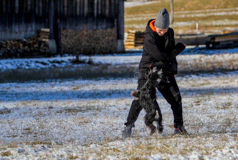 Миниатюрный шнауцер стоя идущий в снеге стоковые изображения rf