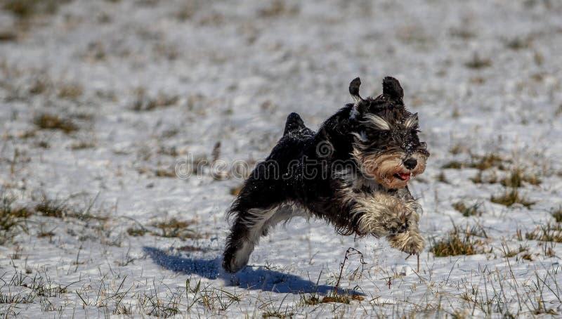 Миниатюрный шнауцер стоя идущий в снеге стоковая фотография