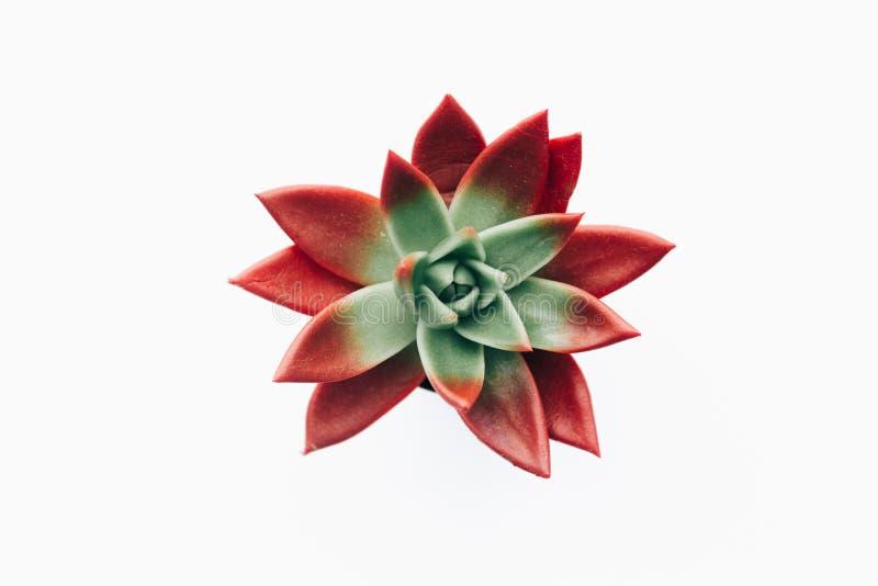 Минимальная концепция Succulent в баке над белизной стоковые фотографии rf