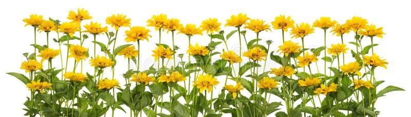 Мини линия изолированная солнцецветами стоковая фотография rf