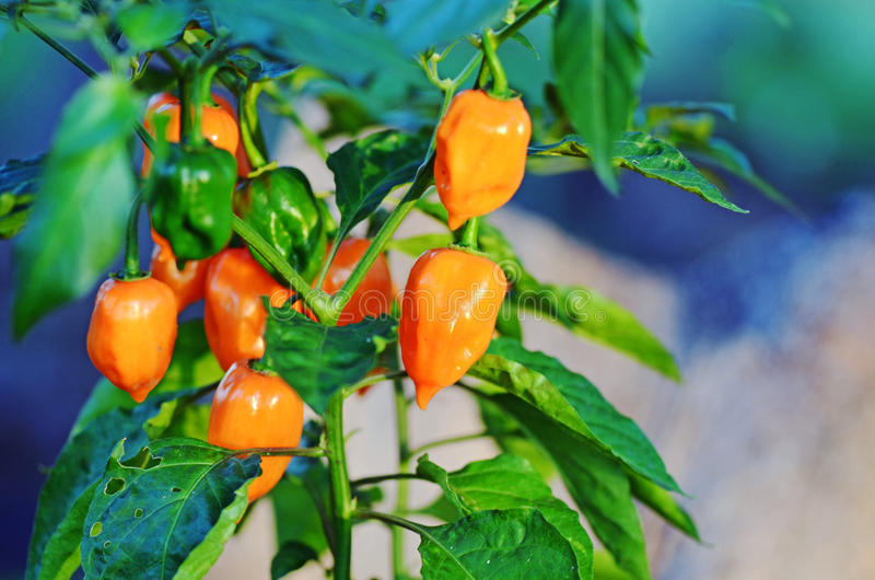 Мини оранжевые болгарские перцы растя на заводе стоковое фото
