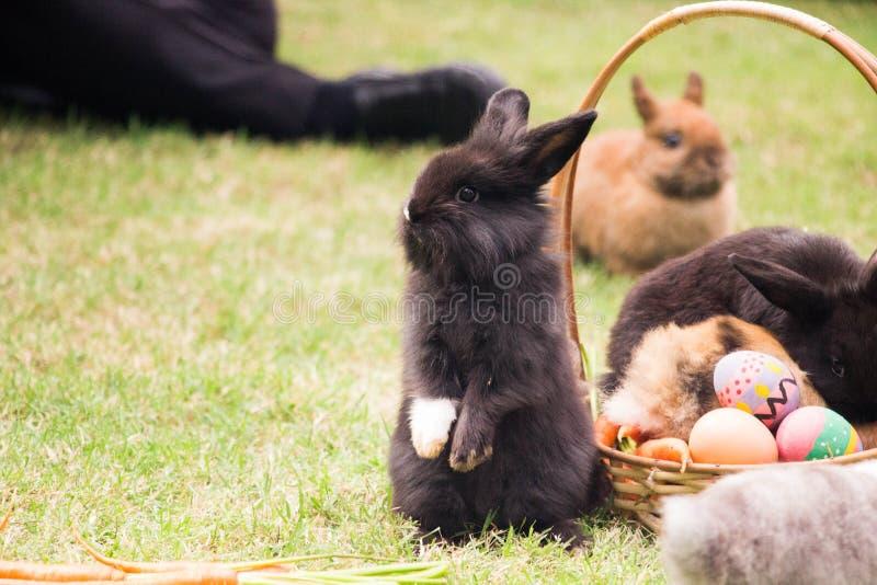 Мини черный кролик стоит вверх стоковые фото