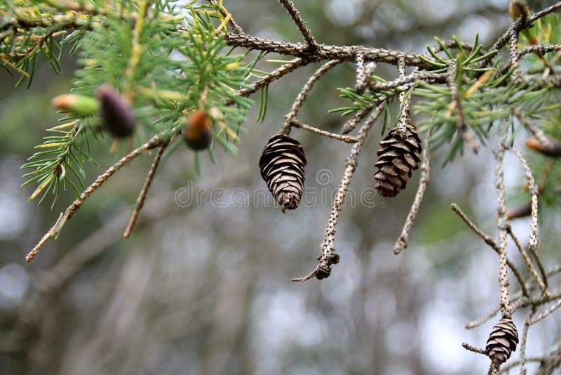 Мини Pinecones стоковое фото