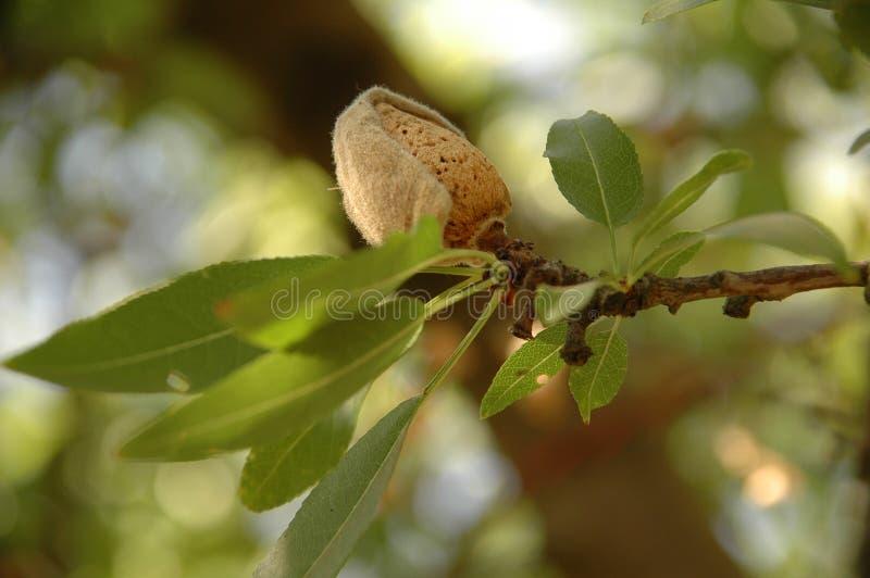 Миндальное дерево на времени сбора стоковая фотография
