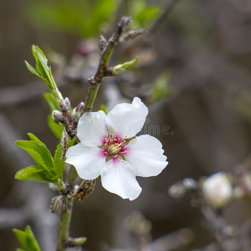 Миндальное дерево с белым цветком стоковое изображение rf
