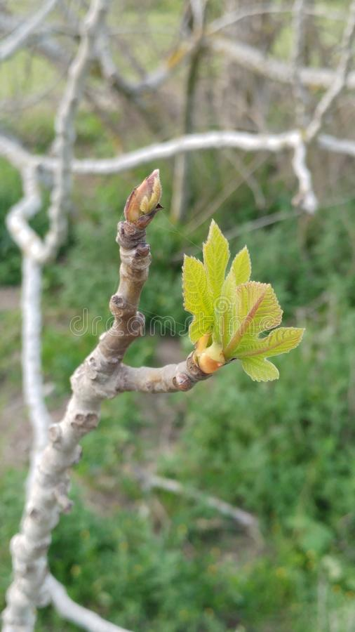 Миндальное дерево стоковое фото rf