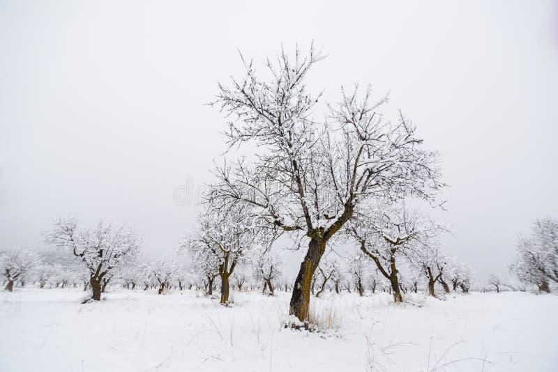 Миндальные деревья в зиме стоковая фотография