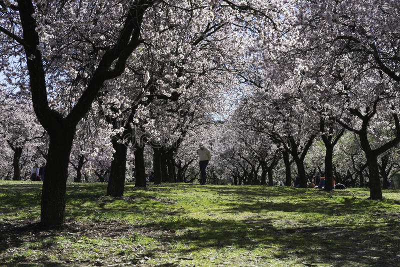 Миндальные деревья, Мадрид стоковая фотография rf