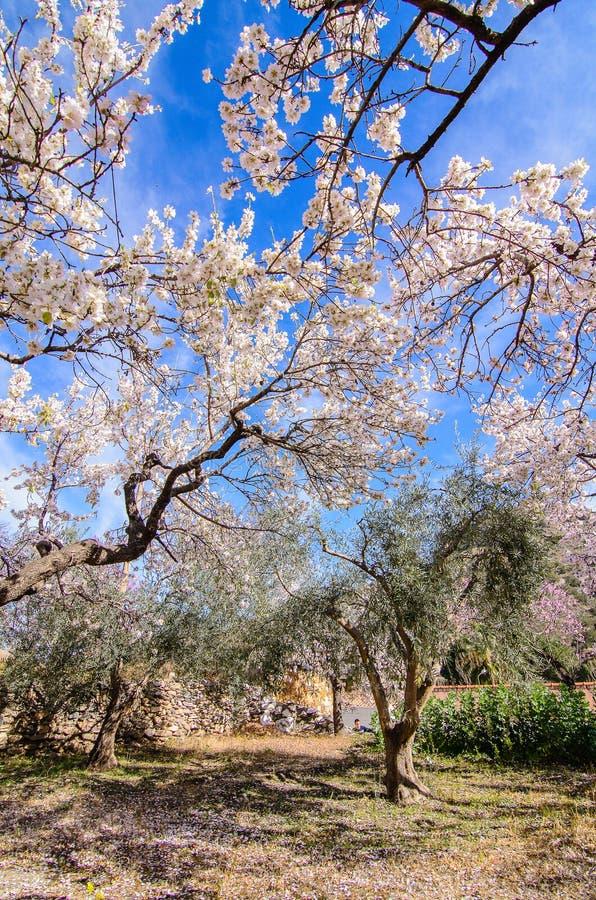 Миндальные деревья стоковые изображения rf