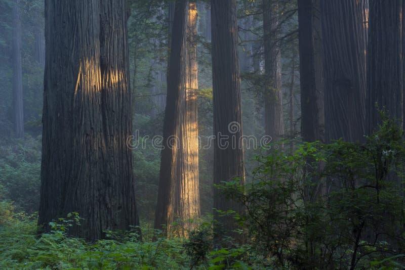 Мирная роща redwood стоковое фото