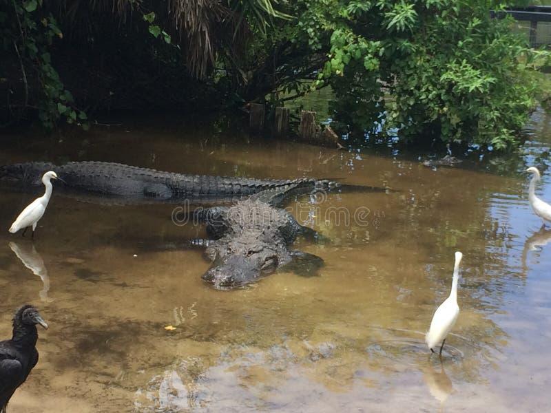 Мир крокодила Флориды стоковые изображения rf