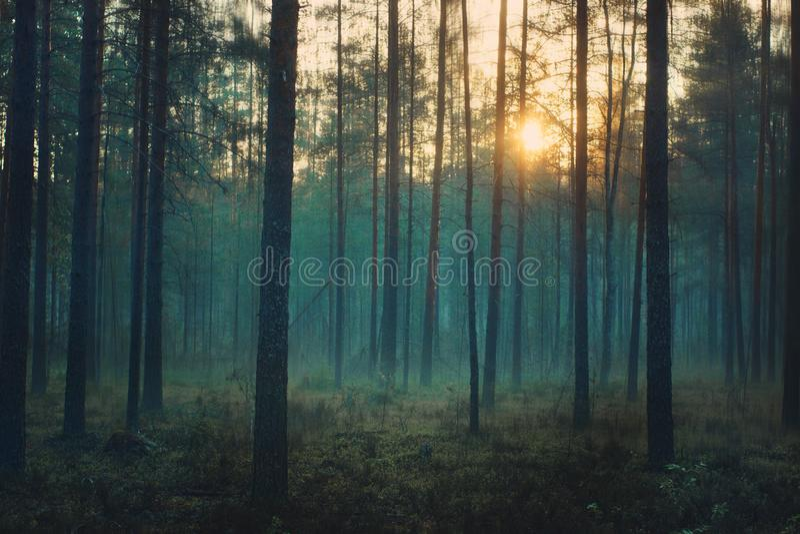 Мистический лес на зоре, голубые стойки тумана между хоботами сосен стоковые изображения