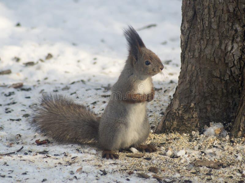 Милая европейская белка в древесинах в зиме ища что-то съесть стоковое фото