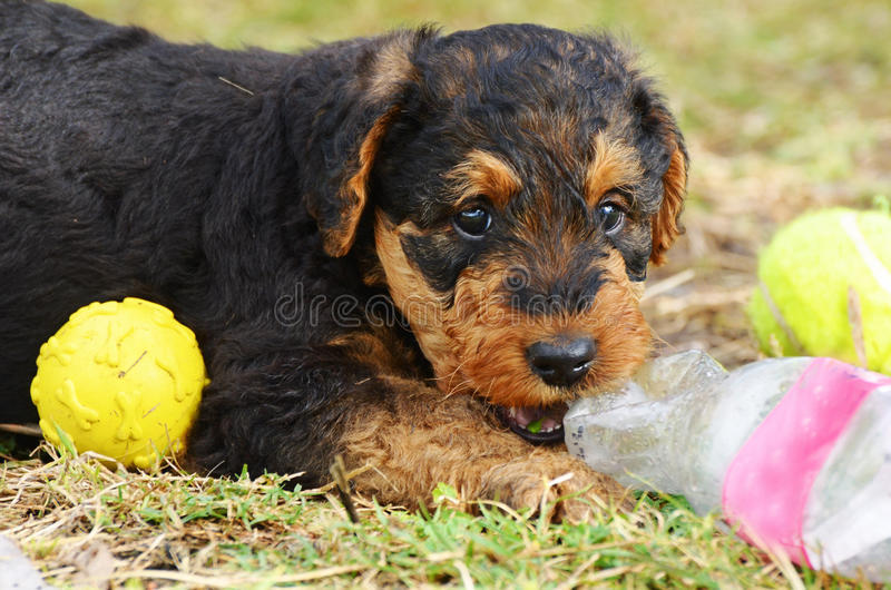 Милая дерзкая шаловливая собака терьера Airedale щенка любимчика играя шарик стоковая фотография rf