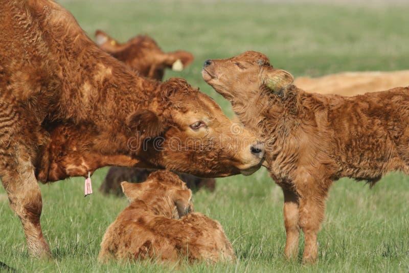 Милая икра коровы младенца наслаждаясь свой холить мам стоковое фото